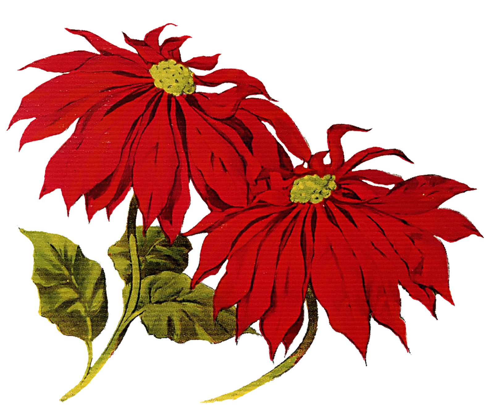Christmas Flower Clipart Hd For Wallpares And Cards Png