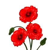 Red Poppies Clipart   7578581   Clipart Panda   Free Clipart Images