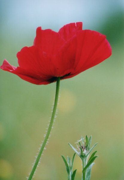 Red Poppy Flowers Picture Lowres   Free Images At Clker Com   Vector