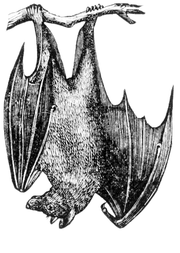 Bat Brazilian Free Tailed Bat Flying Bat Mexican Free Tailed Bat
