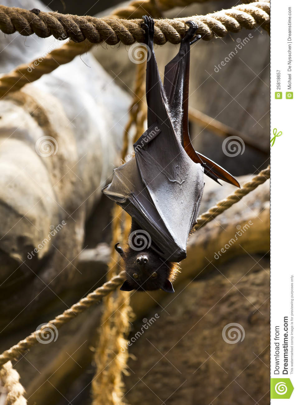 Fruit Bat Hanging Upside Down Royalty Free Stock Photography   Image