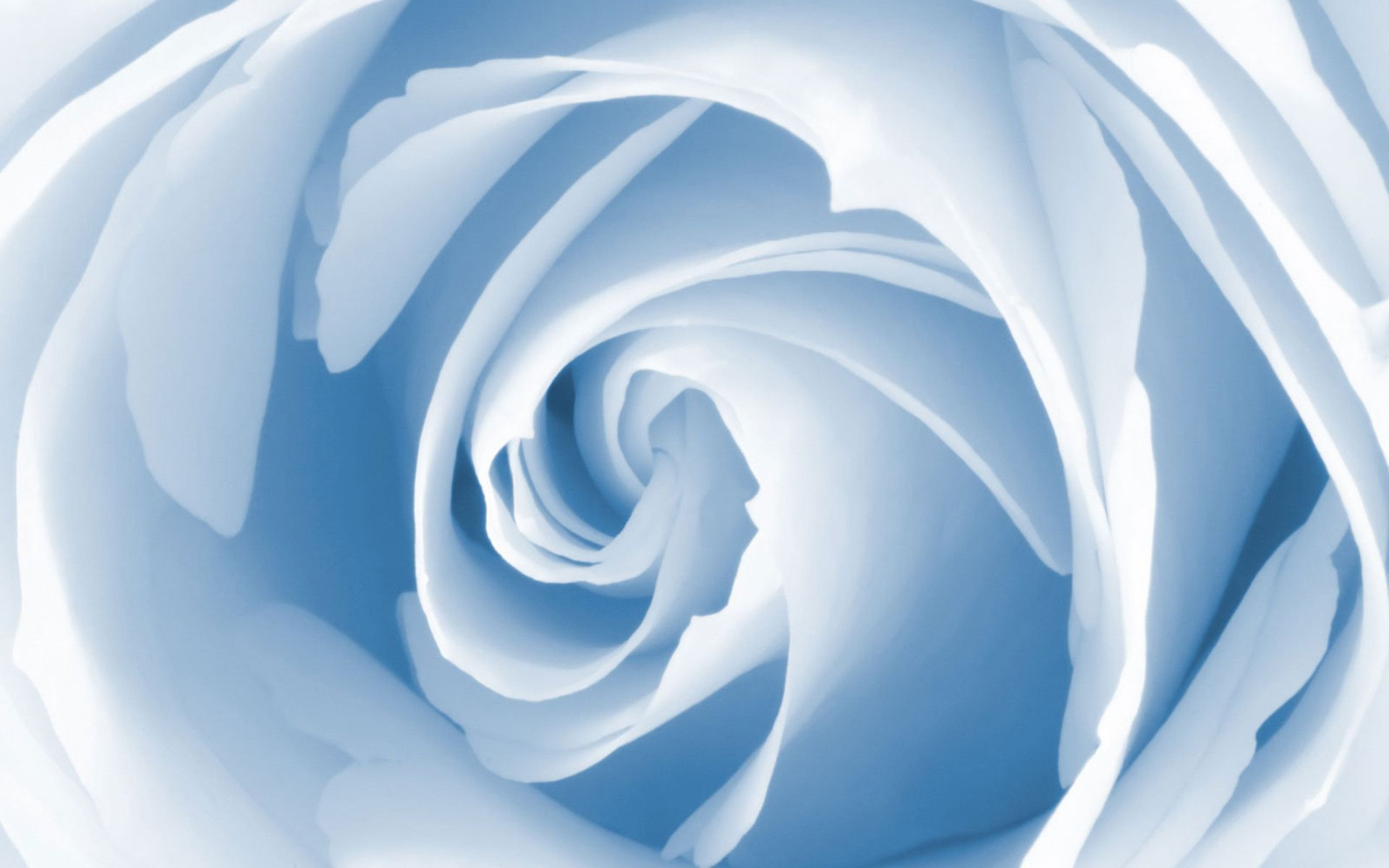 Baby Blue Rose  Miscellaneous