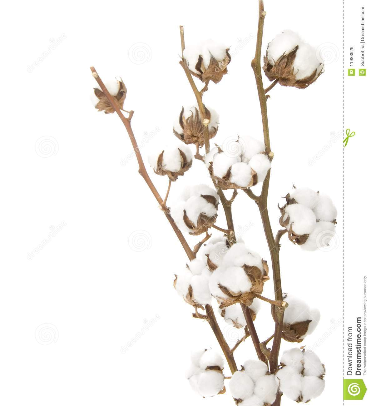 Beautiful Cotton Plant Isolated On White