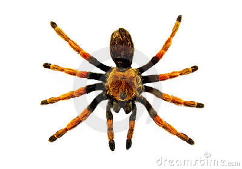 Big Hairy Spider Stock Images   Image  8996584
