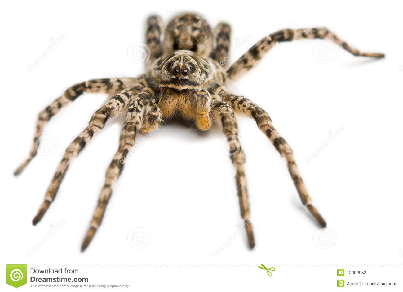 Big Hairy Spider Stock Photography   Image  13302952
