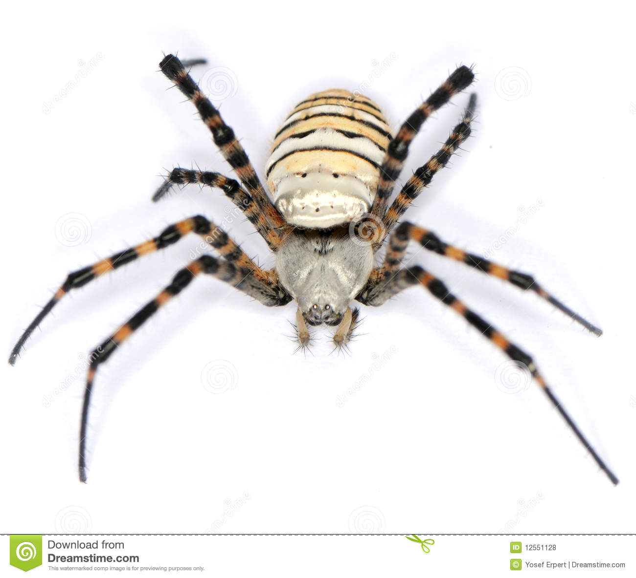 Spider Hairy Royalty Free Stock Photos   Image  12551128