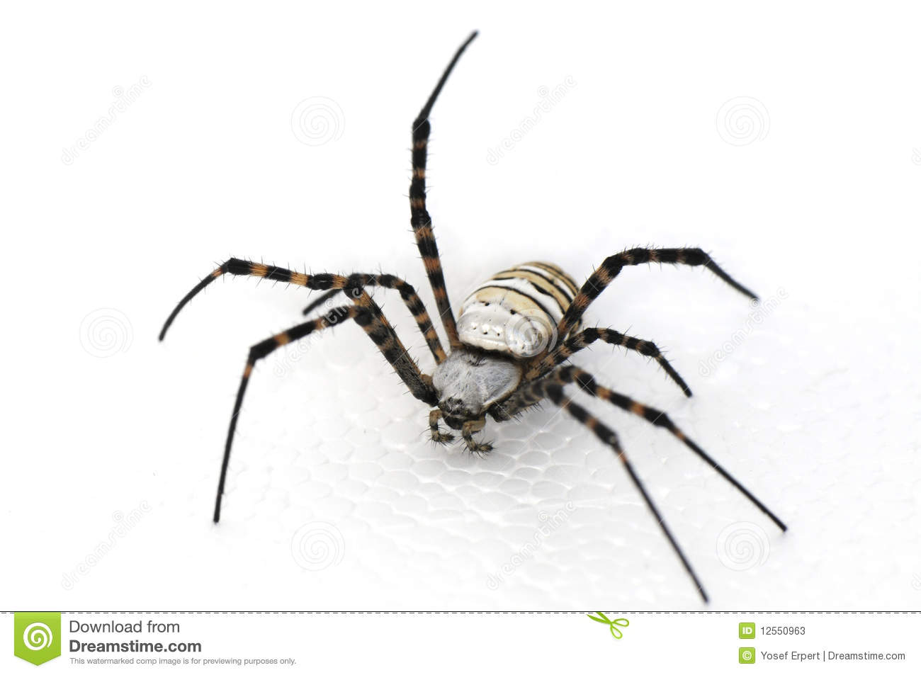 Spider Hairy That Have Eight Legs On White Background