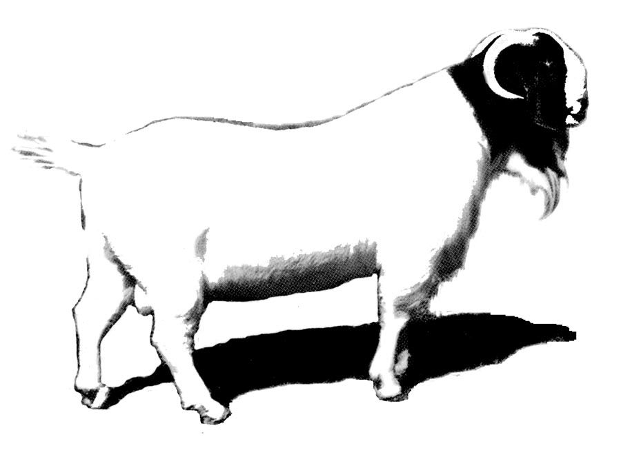 Boer Goat Clipart - Clipart Suggest