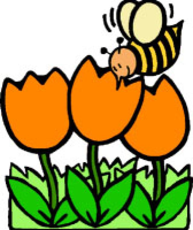 Orange Tulips Being Inspected By A Bee      Free Clipart Pictures Net