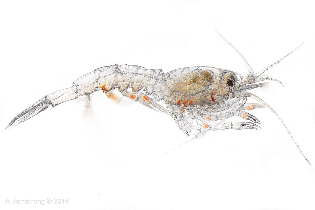 Krill Clipart Animal Portraits Feature 22