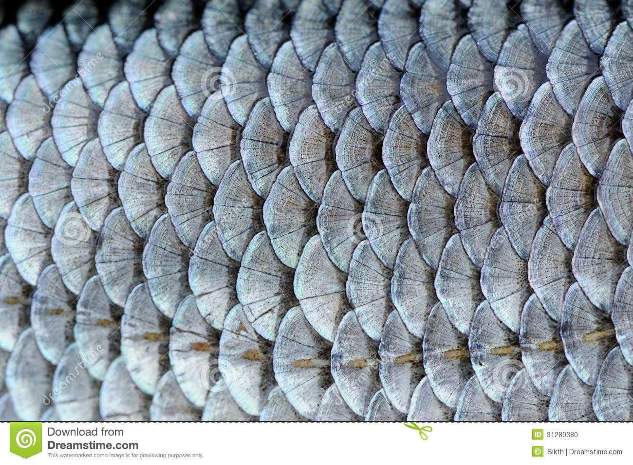 Real Roach Fish Scales Background Stock Photo   Image  31280380