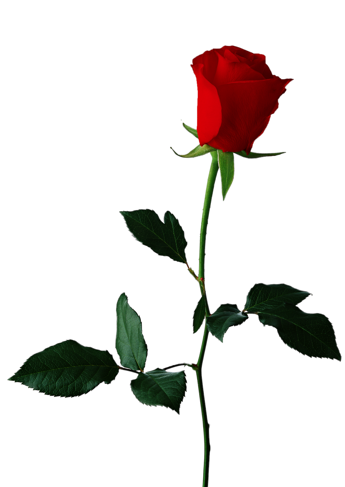 Single Red Rose Clipart - Clipart Kid