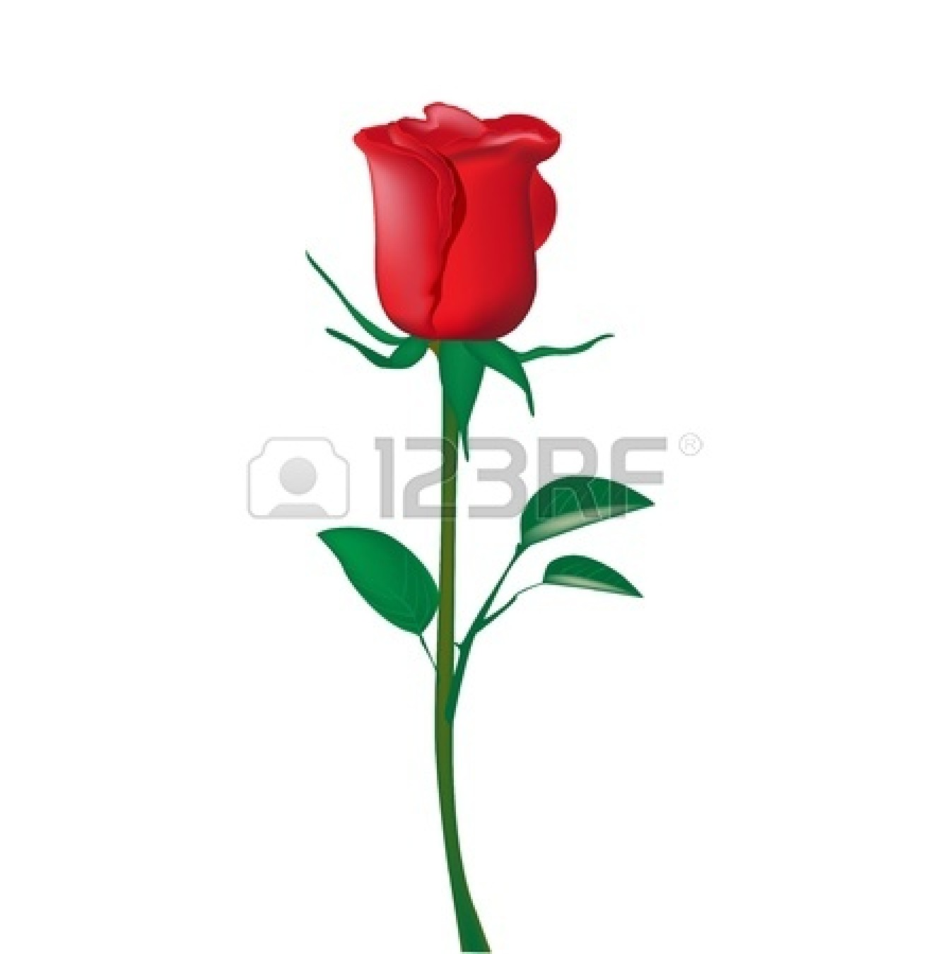 Single Rose Clip Art 13673417 Single Red Rose Isolated On White Jpg