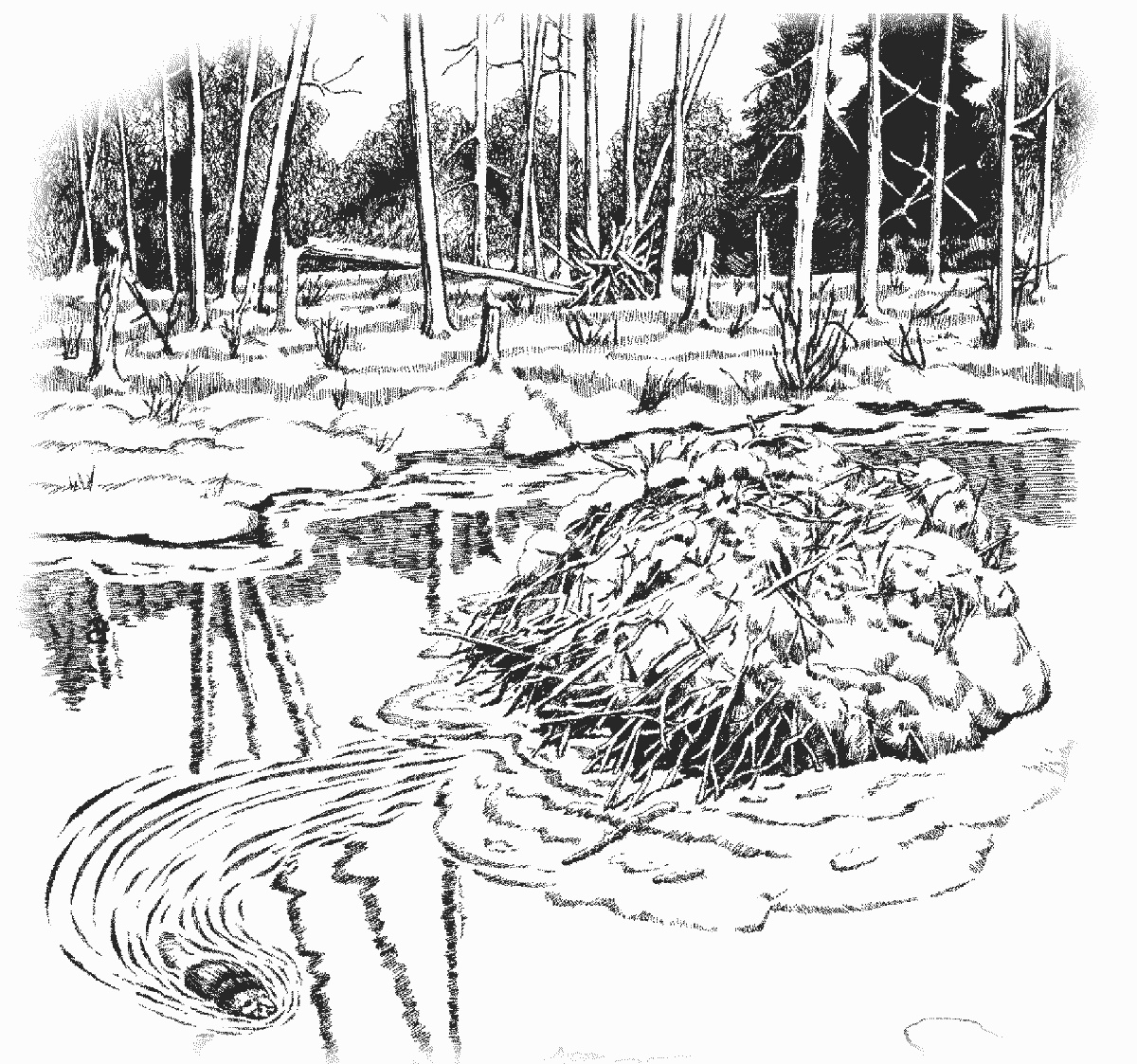 Beaver Dam Coloring Page   Http   Www Wpclipart Com Animals B Beaver