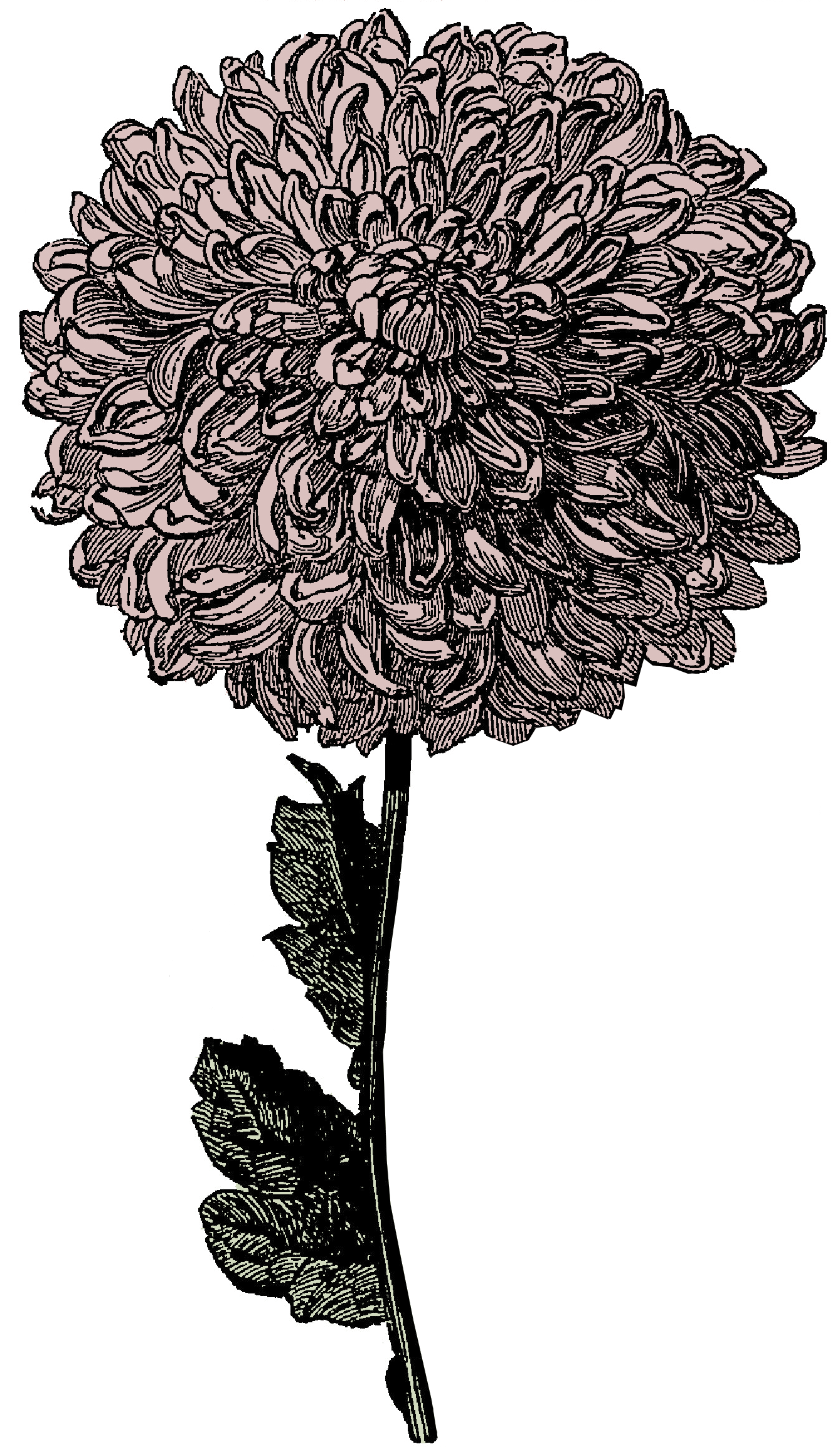 Free Victorian Clipart   Flower And Watch   Call Me Victorian