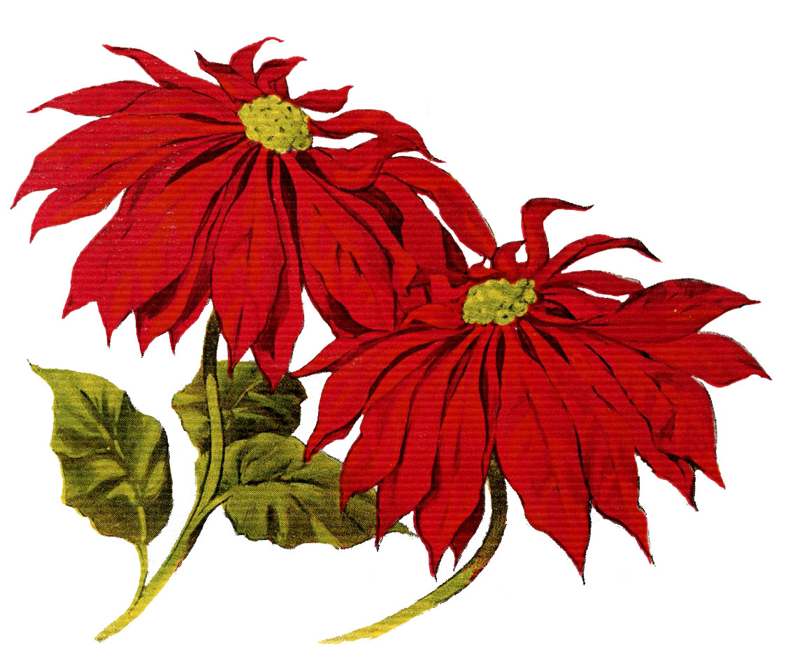 Vintage Christmas Clip Art   Poinsettias   The Graphics Fairy