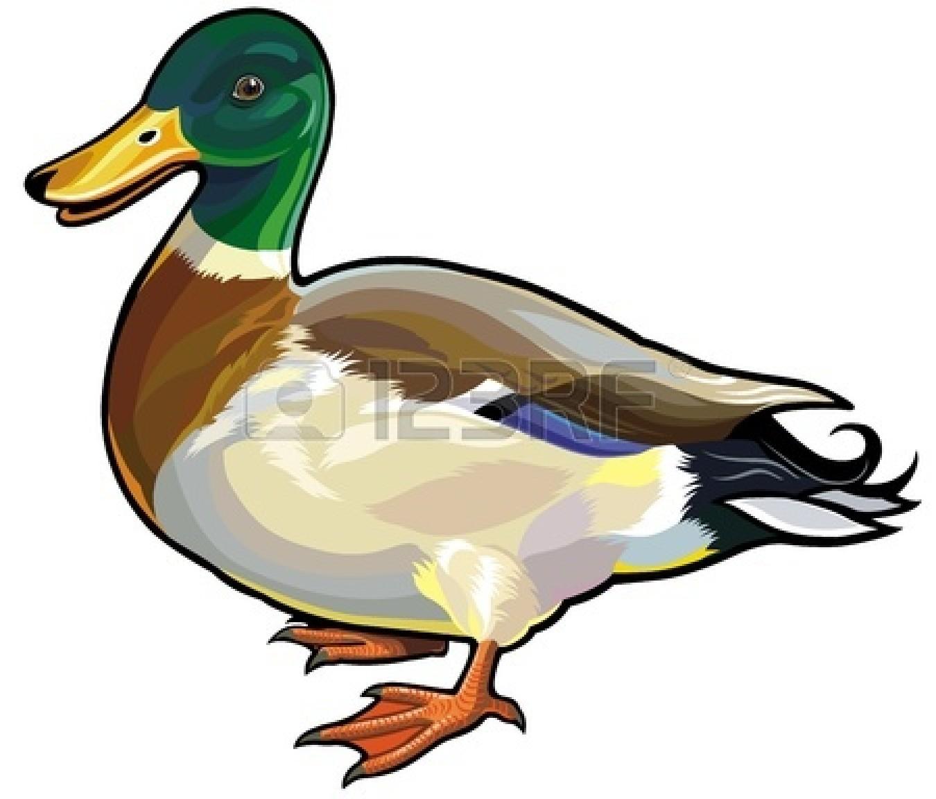 Mallard Duck Free Clipart - Clipart Kid