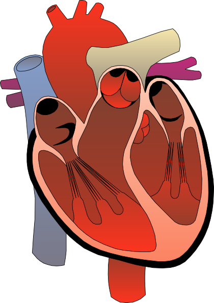 Circulatory System Clipart - Clipart Kid