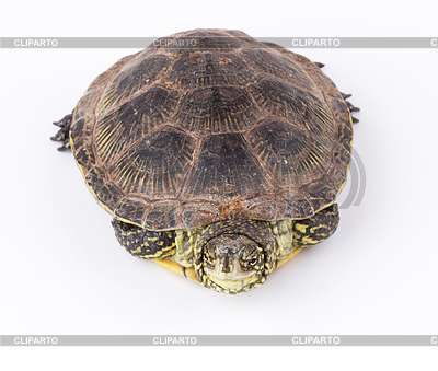 Turtle Hiding In Shell Isolated On White Background     Vadimmmus