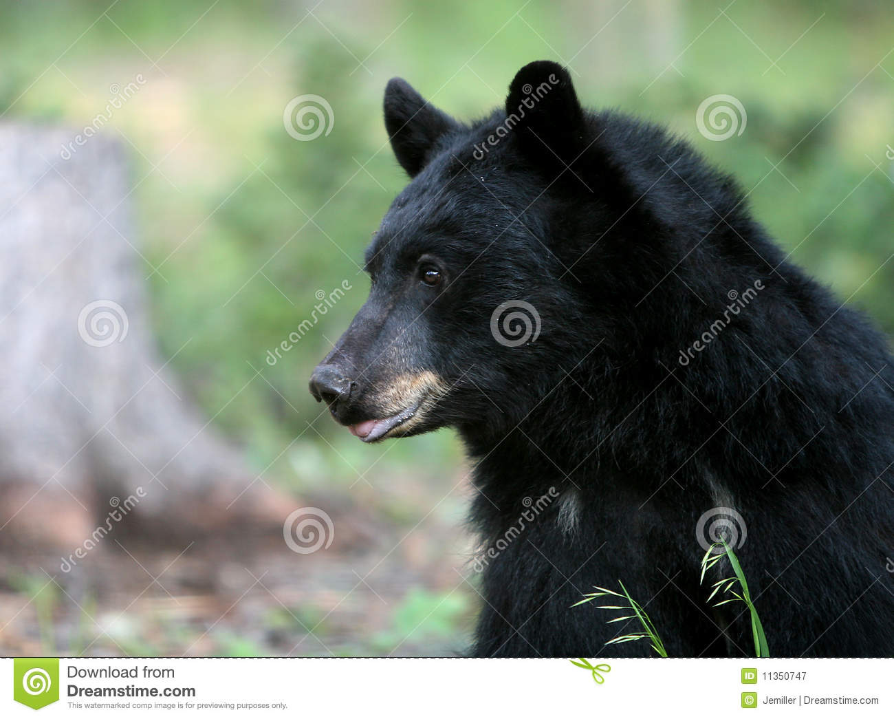 American Black Bear Royalty Free Stock Photography   Image  11350747