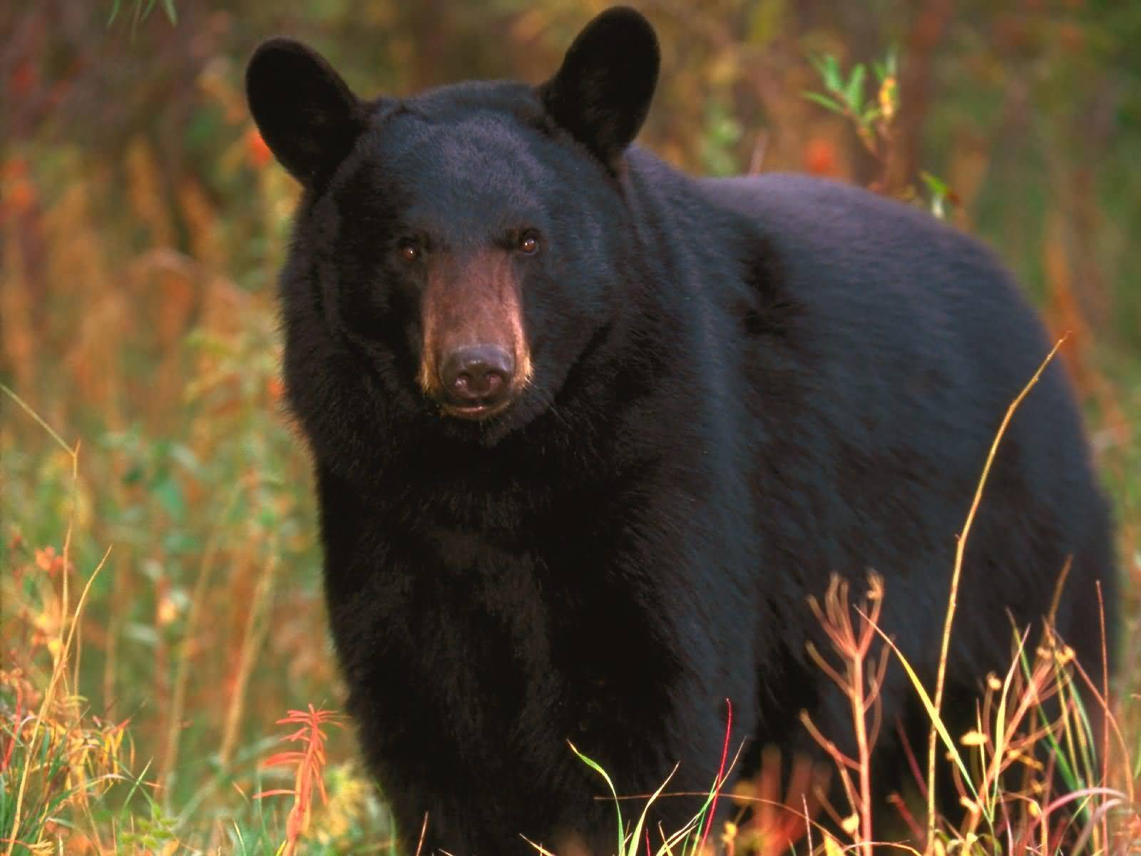 Animal Wildlife Black Bear Black Bears Are The Most Common Bear Found