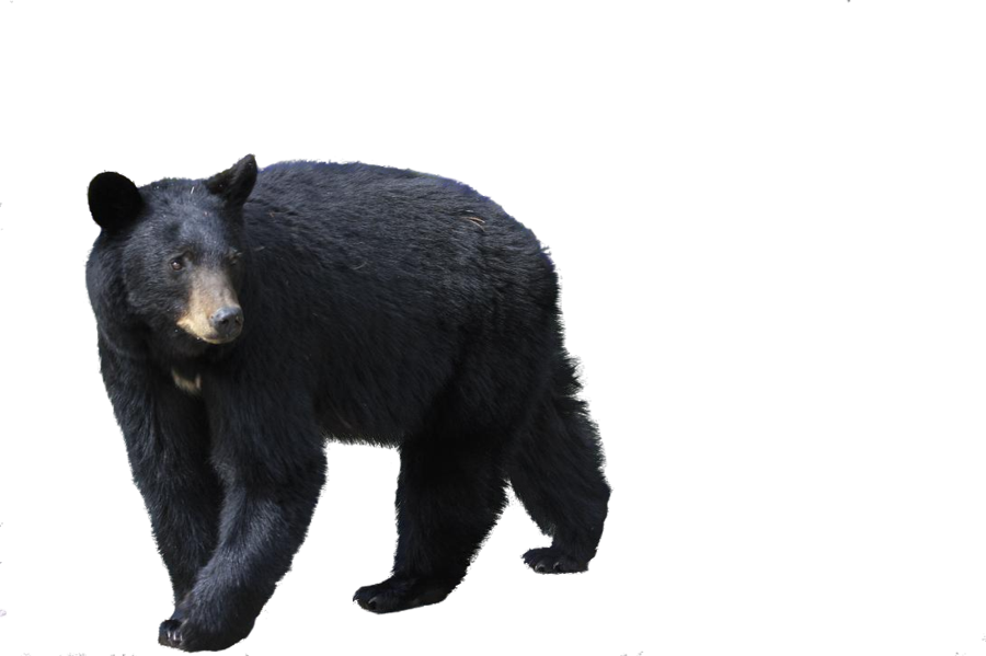 Bear Png By Camelfobia On Deviantart