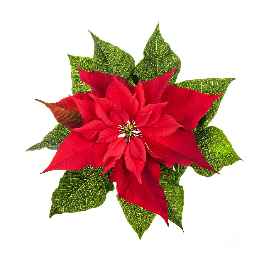 Christmas Poinsettia Photograph