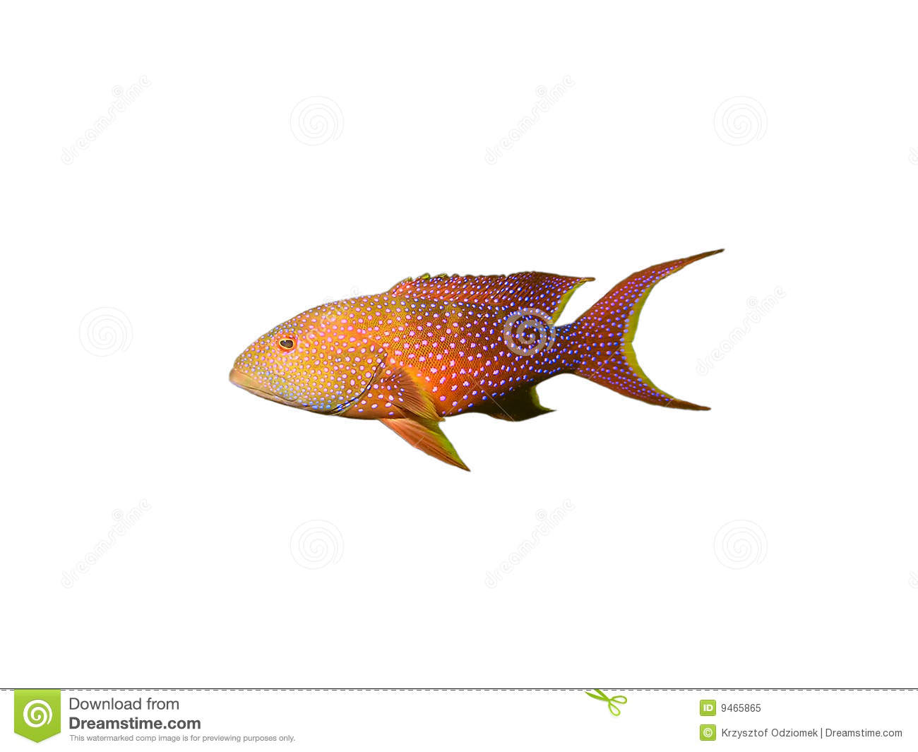 Coral Grouper Fish On White Royalty Free Stock Photo   Image  9465865