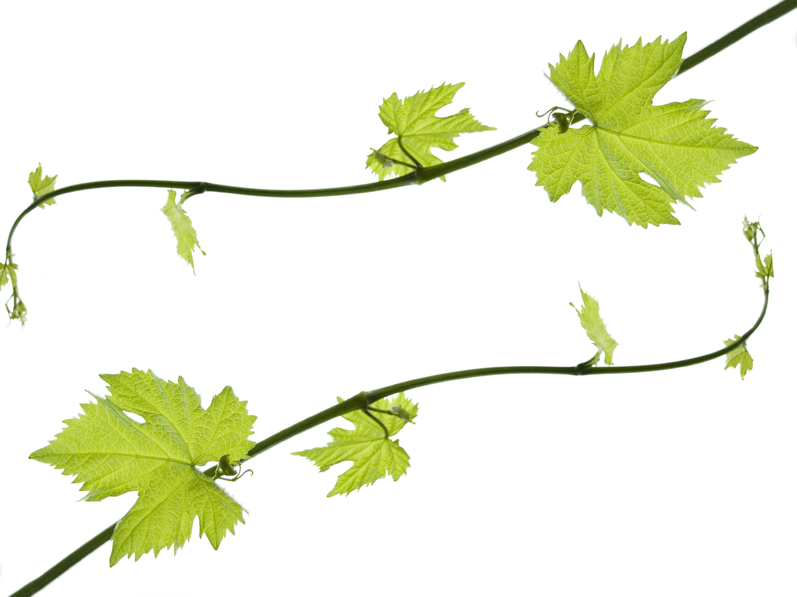 Grape Leaf Border Clipart - Clipart Kid