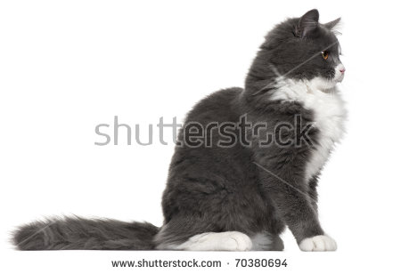 Grey And White Cat 5 Months Old Sitting In Front Of White Background