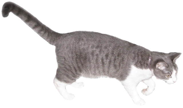 Grey And White Cat Lge 14 Cm Wide   This Clipart Style Image