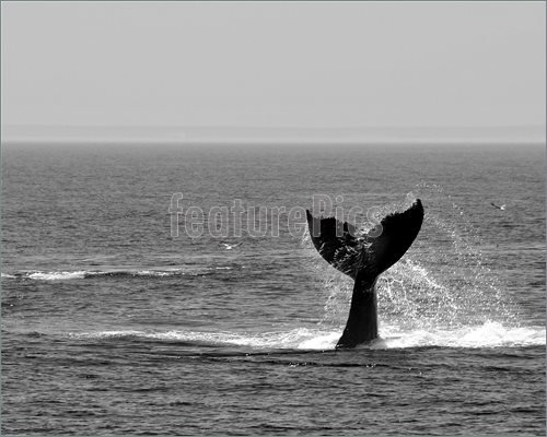 Picture Of Diving Whale S Tail Photographed On Stellwagen Bank Cape