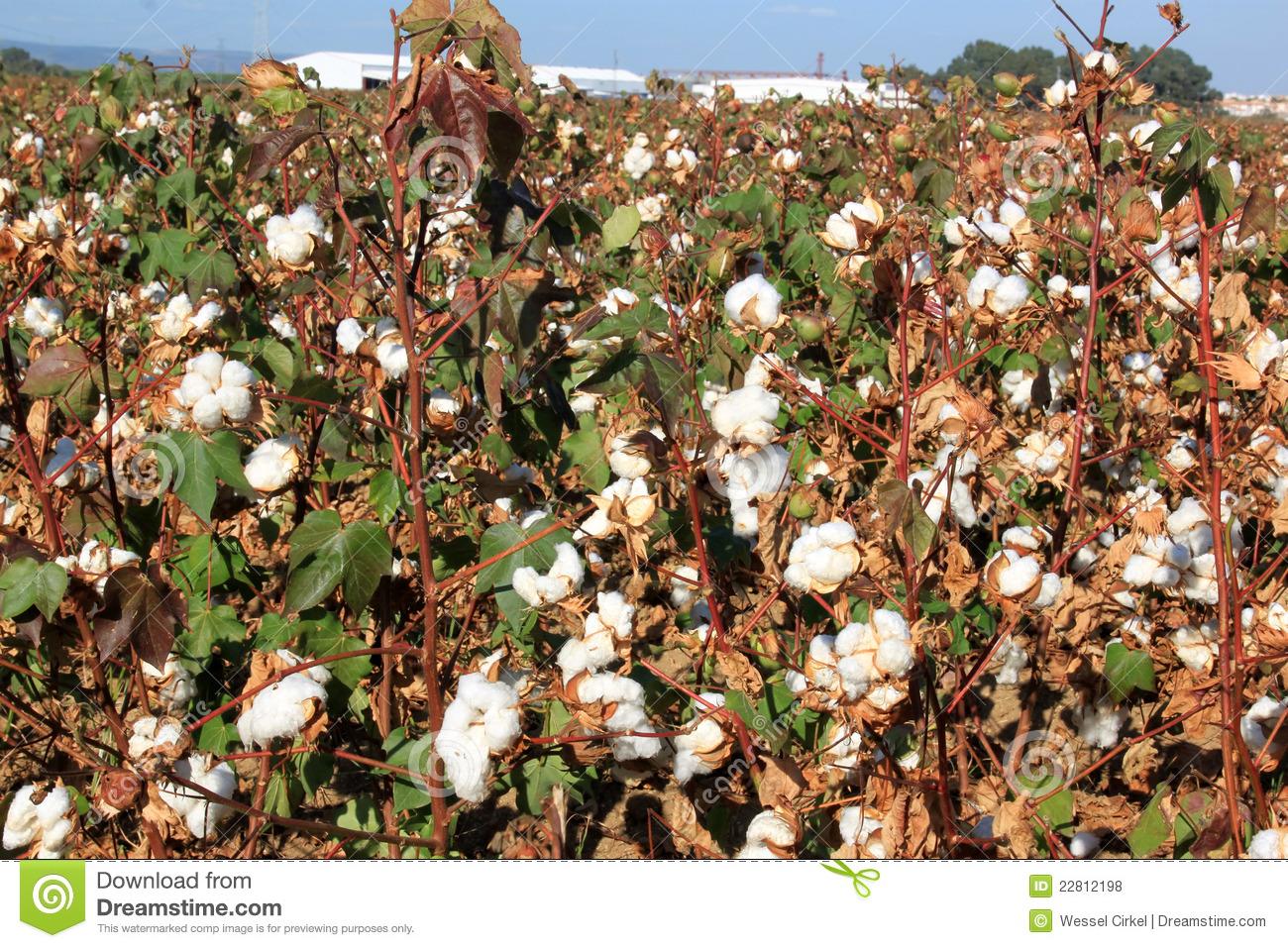 Plantation Of Cotton Clipart - Clipart Suggest