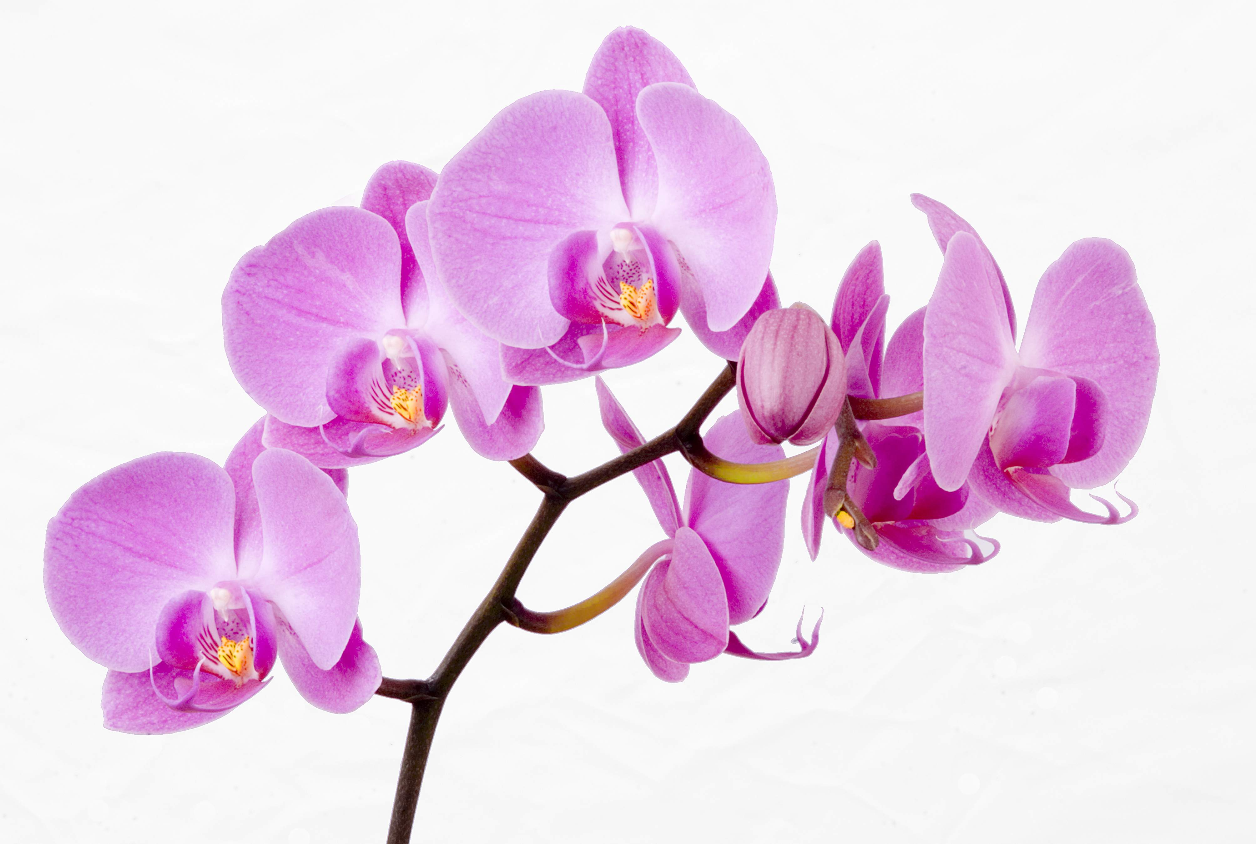 The Orchid Society Of Great Britain The British Orchid Growers