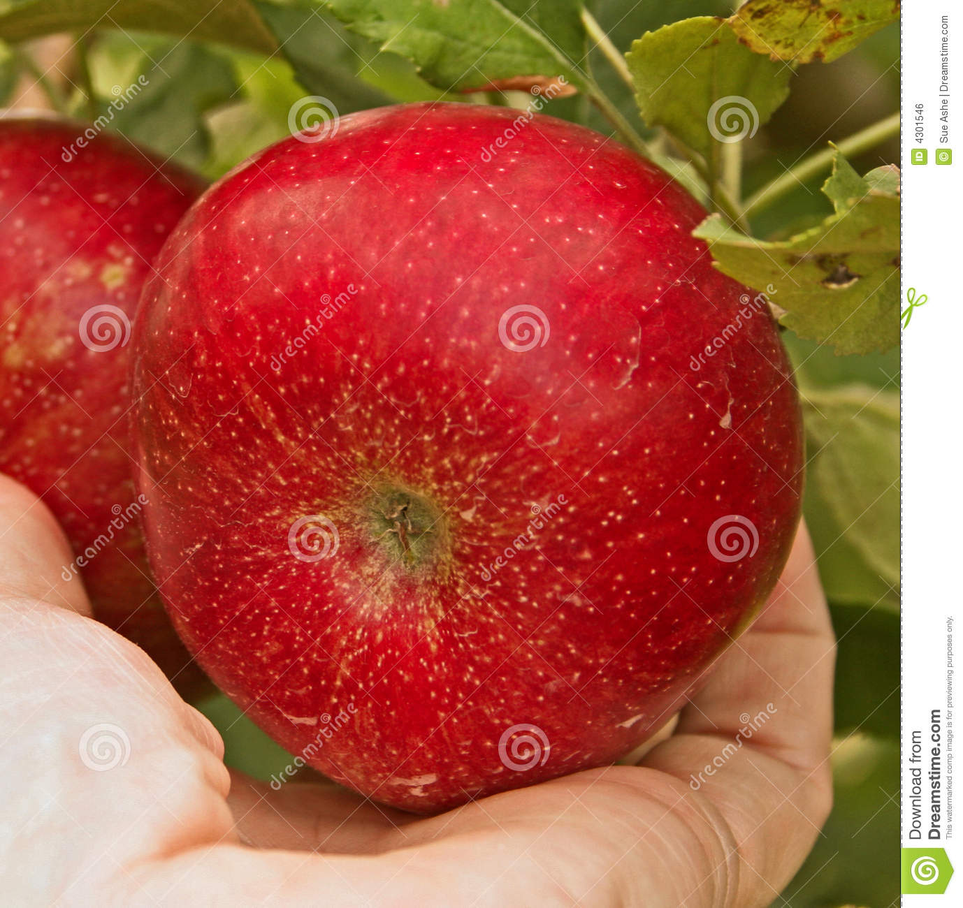 Apple Picking Royalty Free Stock Image   Image  4301546