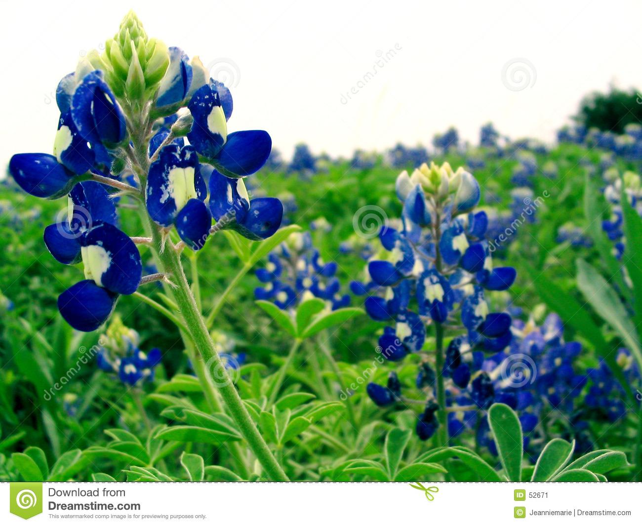 bluebonnet flower clipart clipart suggest Texas Theme Clip Art Texas Theme Clip Art