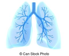 Lung And Bronchi   3d Rendered Anatomy Illustration Of Human