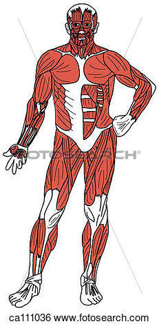 Muscles Of Body Superficial  Fotosearch   Search Clip Art