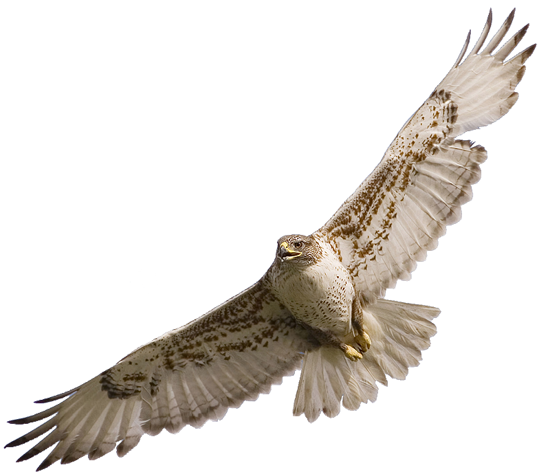 Go Back   Gallery For   Hawk Flying Clipart
