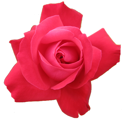 Red Rose Transparent Isolated   Free Images At Clker Com   Vector Clip
