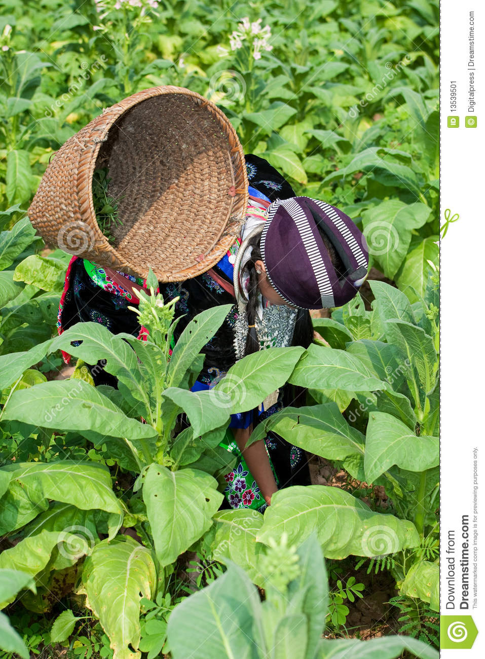 Hmong Of Asia Harvests Tobacco Agriculture In Traditional Clothes