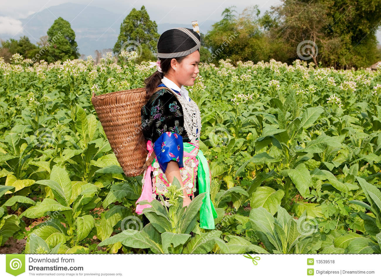 Hmong Of Asia Harvests Tobacco Royalty Free Stock Photos   Image