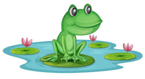 Frog Lotus Pond Stock Photos   Images
