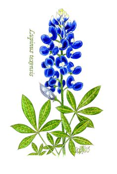 Bluebonnet On Pinterest   Flower Coloring Pages Texas Bluebonnets And