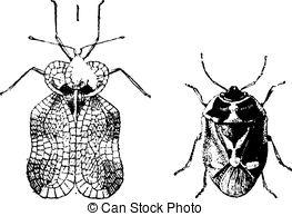 Bug Or Lace Bug Right   Nezara Viridula Or Southern Green Stink Bug