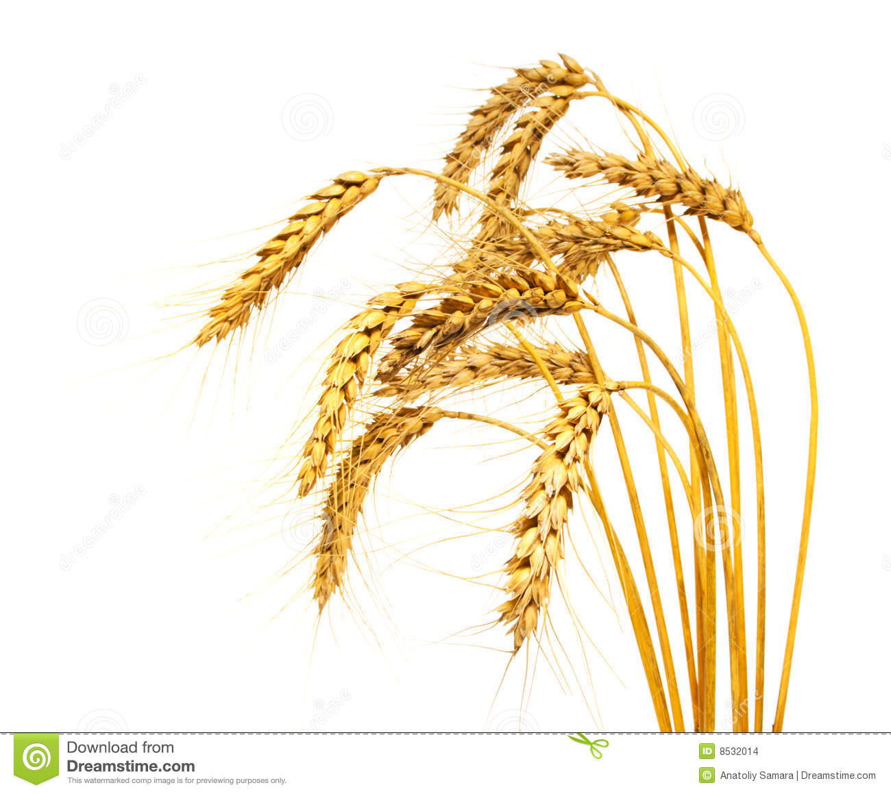 Wheat Stems Isolated Stock Images   Image  8532014