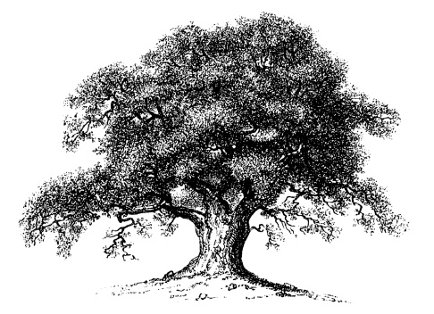 White Oak Tree Clipart - Clipart Kid