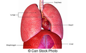 Lungs   The Lung Is The Essential Respiration Organ In Many