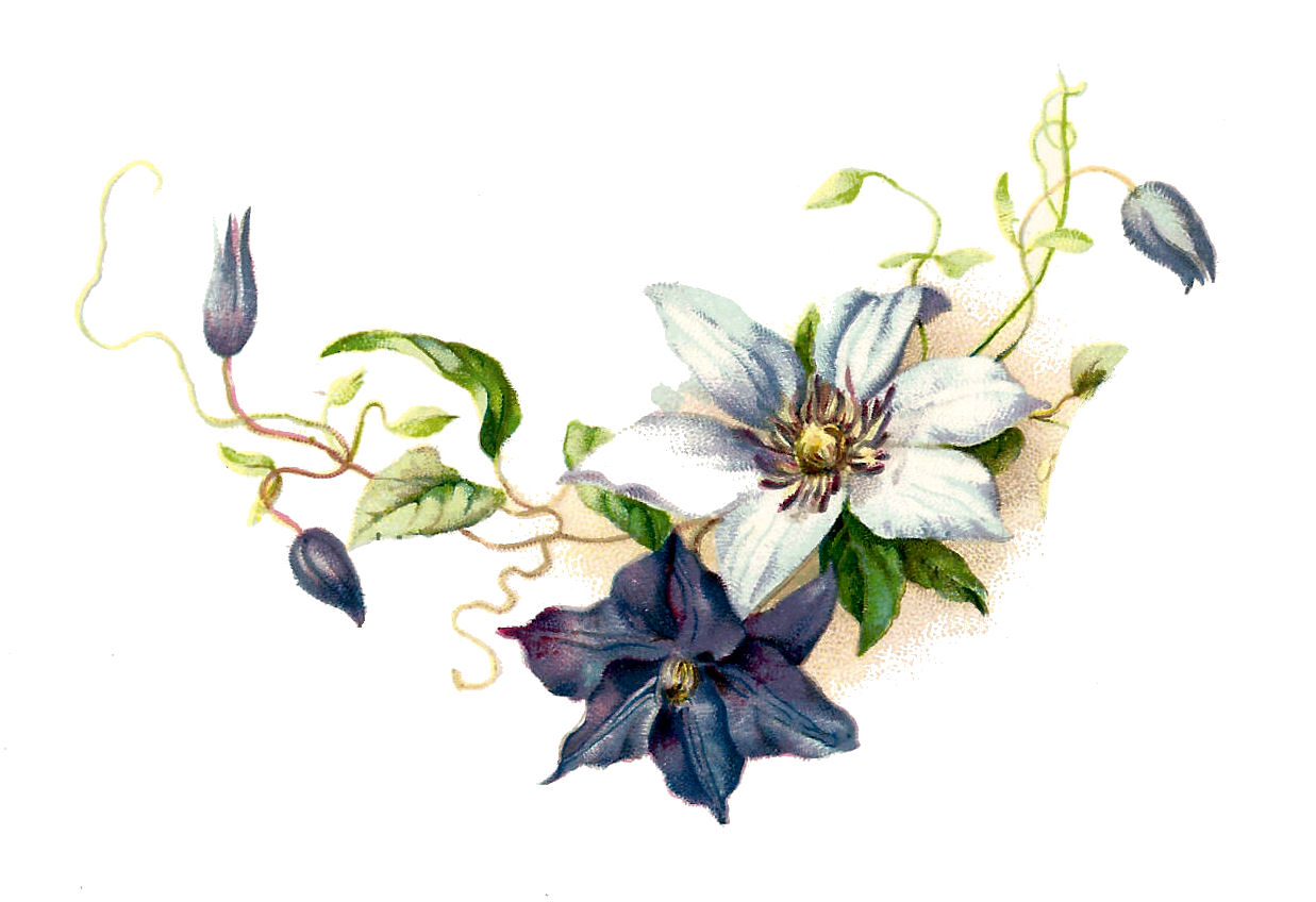 Flower Graphic  Pretty Vintage Blue And White Clematis Flower Clip Art