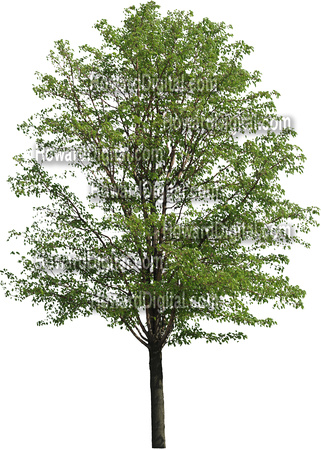Bradford Pear Tree Clip Art High Resolution Trees For Graphic Arts
